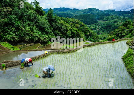 People harvesting in the rice terraces of Banaue, UNESCO World Heritage Site, Northern Luzon, Philippines, Southeast - Stock Photo
