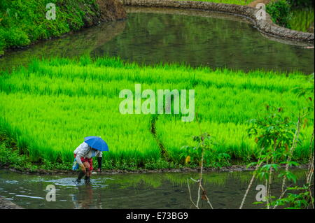 Woman working on the rice terraces of Banaue, UNESCO World Heritage Site, Northern Luzon, Philippines, Southeast - Stock Photo