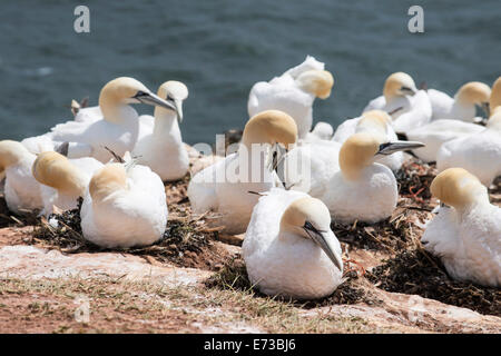 Northern gannet (Morus bassanus) colony, Heligoland, small German archipelago in the North Sea, Germany, Europe - Stock Photo