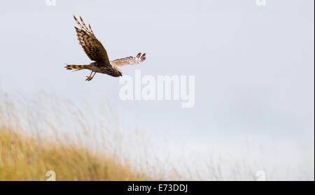 Female Hen Harrier Circus cyaneus hunting over grasslands on the Isle of Mull, Scotland - Stock Photo