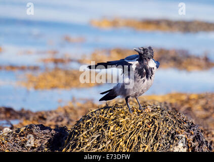 Hooded crow, Corvus cornix perched on rock alongside sea loch on the Isle of Mull, Scotland - Stock Photo