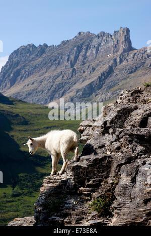A kid mountain goat in Glacier National Park, Montana. - Stock Photo