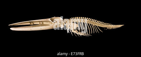Real whale skeleton isolated on black background - Stock Photo