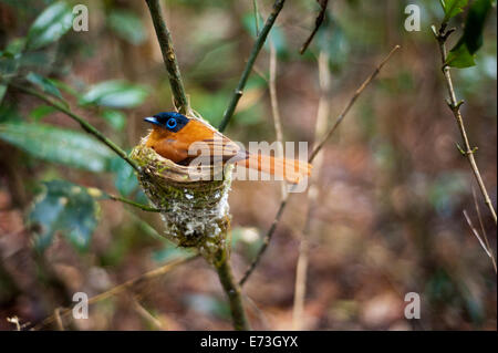 Madagascar, Andasibe. An adult male African Paradise Flycatcher sitting in its nest. - Stock Photo