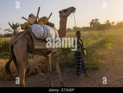 Afar Tribe Man With His Camels, Afambo, Ethiopia - Stock Photo