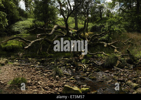 View, near Trough Bridge, fallen tree undermined by river bend lateral erosion, stony channel Marshaw Wyre, Trough - Stock Photo