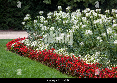 Flower bed garden, Cleome spinosa, Cleome hassleriana, Spider flower color combination plants - Stock Photo