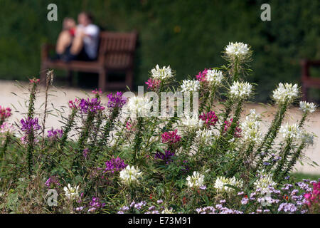 Cleome spinosa flowering in a colorful garden flower bed, garden path - Stock Photo