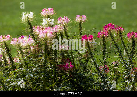 Spider flower, Cleome spinosa in flower - Stock Photo
