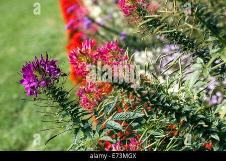 Cleome spinosa, Spider flower growing in a garden - Stock Photo