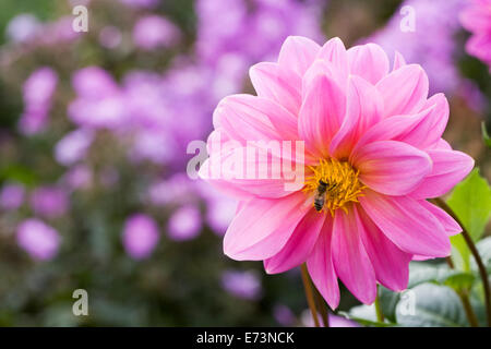 Honeybee on a Pink Dahlia growing in an herbaceous border. - Stock Photo