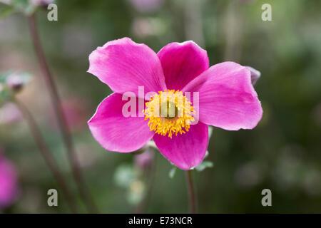 Anemone hupehensis 'Hadspen Abundance' flower. - Stock Photo
