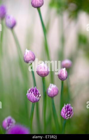 Chives, Allium schoenoprasum, purple flowers on long green stems of the garden herb growing in a garden border. - Stock Photo