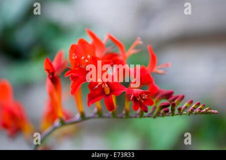 Montbretia, Crocosmia 'Lucifer', branched spike with emerging showy funnel-shaped red flowers isolated in shallow - Stock Photo