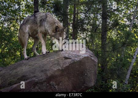 Alert female gray wolf, near Sandstone, Minnesota, USA - Stock Photo