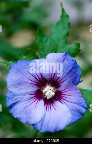 rose mallow 39 blue bird 39 hibiscus syriacus 39 oiseau bleu. Black Bedroom Furniture Sets. Home Design Ideas