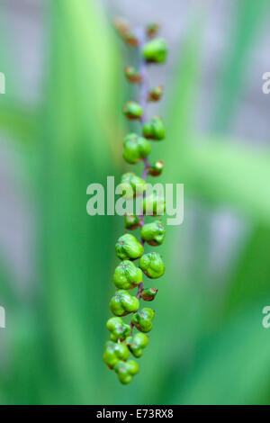Montbretia, Crocosmia 'Lucifer', Green seed pods isolated in shallow focus. - Stock Photo