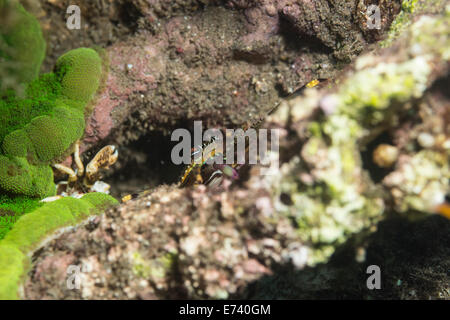 Flat rock crab on a coral - Stock Photo