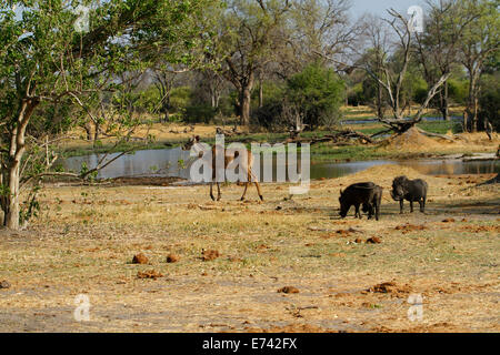 Family of Warts Hogs on the open plains feeding as a lone female kudu walks past towards water - Stock Photo