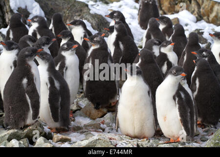 kindergarten Adelie penguin chicks have accumulated near the colony - Stock Photo