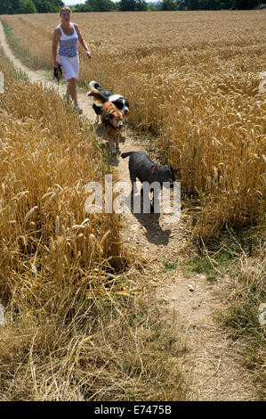 A lady with her pet dogs walking along a footpath through a barley field, Chilterns countryside Buckinghamshire - Stock Photo