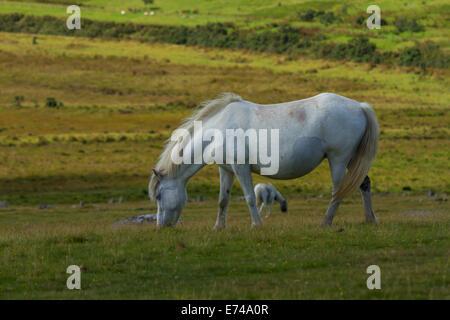 Moorland Ponies on Bodmin Moor - Stock Photo