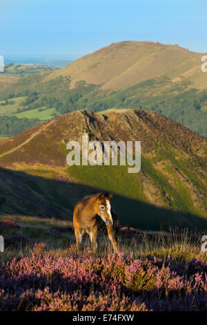 A foal grazing amongst heather on the Long Mynd above Church Stretton in the Shropshire Hills, England. - Stock Photo