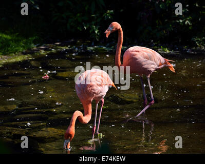 Pair of pink Flamingos Phoenicopterus ruber feeding while wading and walking in a pond Toronto Zoo - Stock Photo