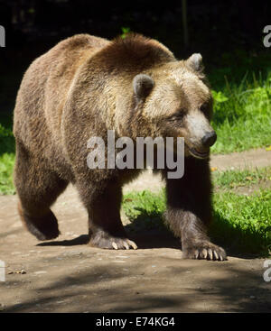Young Mainland Grizzly bear Ursus arctos horribilis subspecies of brown bear walking on path Toronto Zoo - Stock Photo
