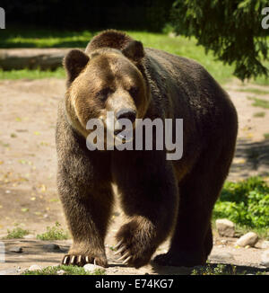 Mature Mainland Grizzly bear subspecies of brown bear walking on path at the Toronto Zoo - Stock Photo