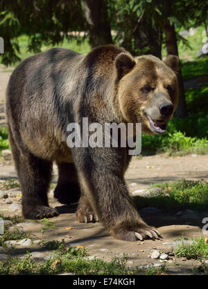 Mainland Grizzly bear Ursus arctos horribilis subspecies of brown bear walking on path Toronto Zoo - Stock Photo