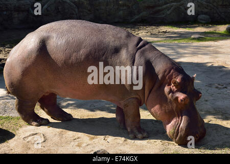 Pink hide of a River Hippopotamus grazing at the Toronto Zoo - Stock Photo