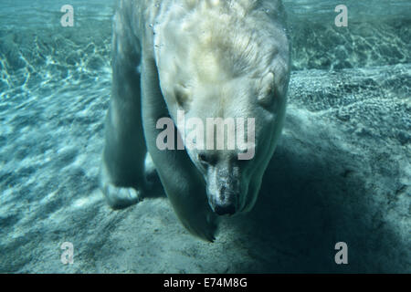 Polar bear diving holding breath underwater at blue pool of Toronto Zoo - Stock Photo