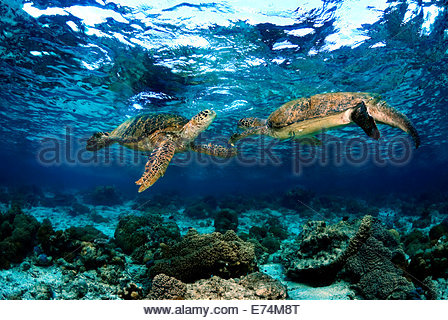 Two green seaturtles - Stock Photo