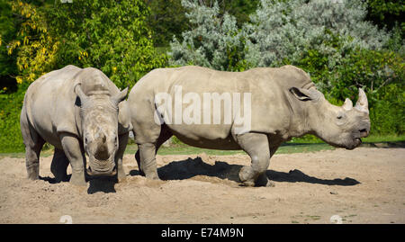 Two female Southern White Rhinoceros Ceratotherium simum standing side by side fending off a male Rhino Toronto - Stock Photo