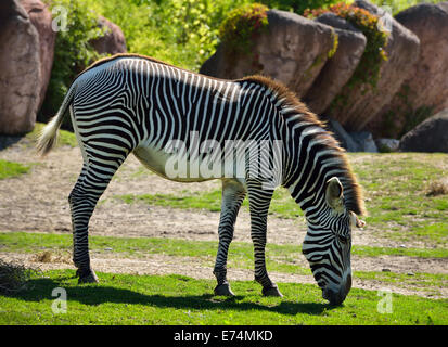 Side view of a backlit Grevy's Zebras Equus grevyi grazing on grass Toronto zoo - Stock Photo