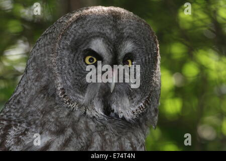 Close-up of the head of a Great Grey Owl (Strix nebulosa) - Stock Photo