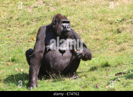 Mature female eating a carrotl; group of Western lowland gorillas at Apenheul Primate zoo, The Netherlands - Stock Photo