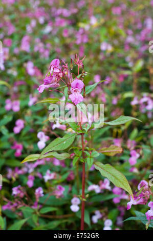 Riverbank being overgrown with Himalayan Balsam invasive species growing at The Warren Hay-on-Wye Powys Wales UK Stock Photo