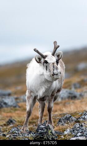 Svalbard Reindeer (Rangifer tarandus plathyrhynchus) Sundneset Svalbard Norway Arctic Circle Scandinavia Europe - Stock Photo