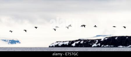 Black Guillemots (Cepphus grylle) flying over Torellneset Svalbard Norway Arctic Circle Scandinavia Europe - Stock Photo
