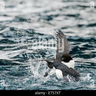 Black Guillemots (Cepphus grylle) fighting in water Alkefjellet Svalbard Norway Arctic Circle Scandinavia Europe - Stock Photo