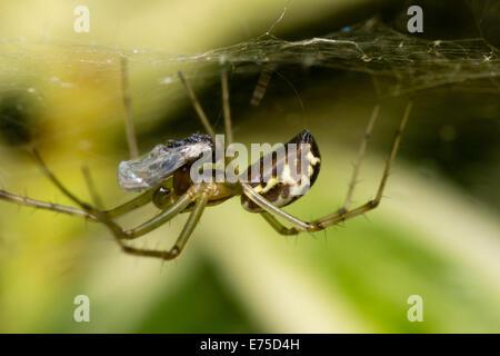 UK spider, Linyphia triangularis, feeding on a captured hoverfly - Stock Photo