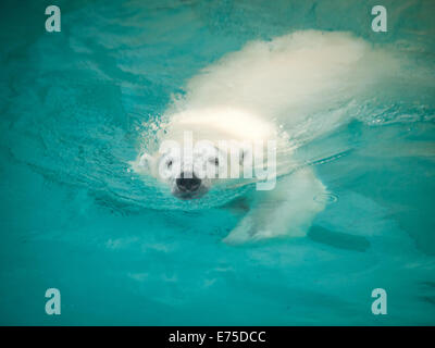 Anana, the resident female polar bear of Lincoln Park Zoo in Chicago, swims in her pool on a hot, summer day. - Stock Photo