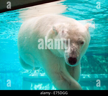 Anana, the resident female polar bear of Lincoln Park Zoo in Chicago, swims underwater on a hot summer's day. - Stock Photo