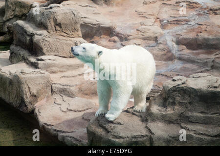A view of Anana, the resident female polar bear of the Lincoln Park Zoo in Chicago, Illinois. - Stock Photo