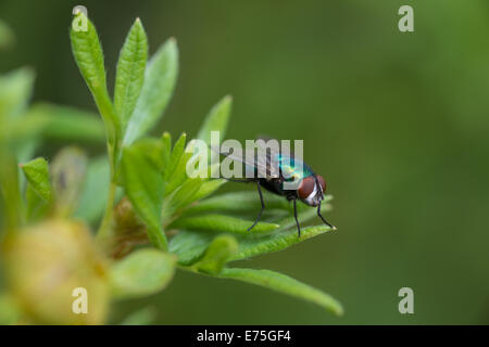 Green bottle fly, Lucilia sericata, perched on leaf tips on a cool summers evening, St Albert, Alberta - Stock Photo