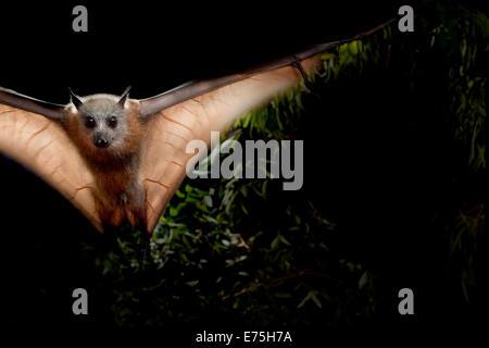 Grey-headed flying fox, Australia - Stock Photo