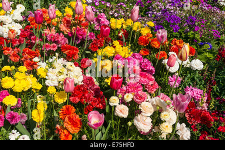 Mixed spring flowers in a garden, including tulips and ranunculus - Stock Photo