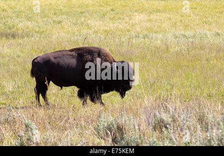 Side view of a single North American Bison (Buffalo) grazing in open prairie - Stock Photo